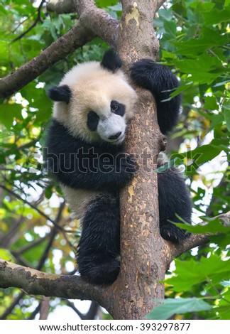 Cute panda bear holding tight to tree - stock photo