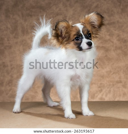 Cute Papillon puppy age of four month on a brown background - stock photo
