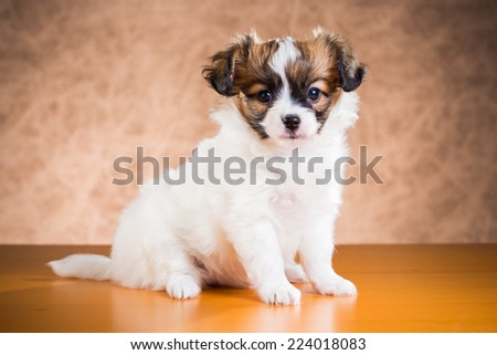 Cute Papillon puppy age of one and a half months on a brown background - stock photo