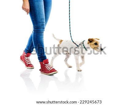 Cute parson russell terrier dog on lead on walk with his owner, isolated on white background - stock photo