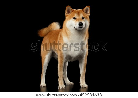 Cute pedigreed Red Shiba inu Breed Dog Standing on Isolated Black Background, Front view - stock photo