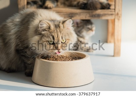 Cute persian cat eating dry food on white floor - stock photo