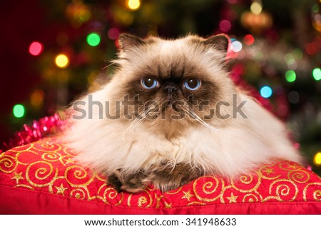 Cute persian colourpoint cat is lying on a red cushion in front of a Christmas tree with colourful lights bokeh - stock photo