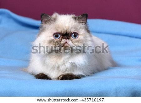 Cute persian seal tortie colorpoint kitten is lying on a blue bedspread in front of a purple wall background - stock photo