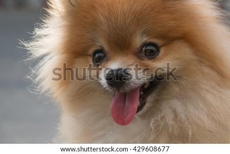 Cute pet. Closeup face Pomeranian dog. Cute Pomeranian dog. Smiling brown Pomeranian dog. Pomeranian dog. Puppy Pomeranian dog cute pet. Brown Pomeranian dog. - stock photo