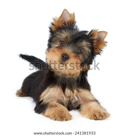 Cute pet isolated on white. Puppy of the Yorkshire Terrier. - stock photo