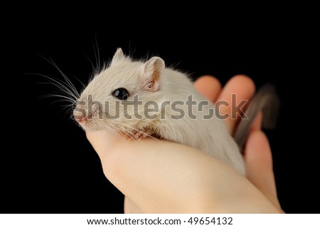 Cute pet mouse in human hand isolated on black - stock photo