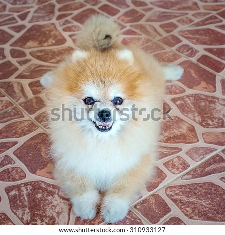 cute pet, pomeranian puppy dog - stock photo