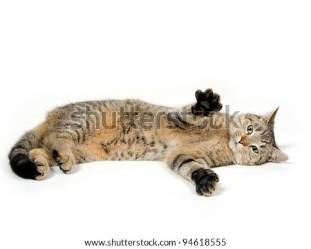 Cute pet tabby cat laying down and playing on white background - stock photo