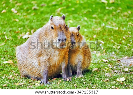 Cute pig water( capybara) in their natural habitat in the outside. - stock photo