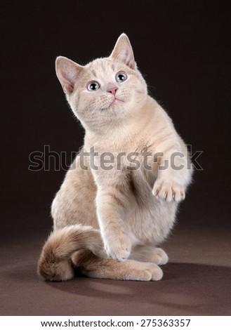 Cute playful young British cat sitting raising paw - stock photo