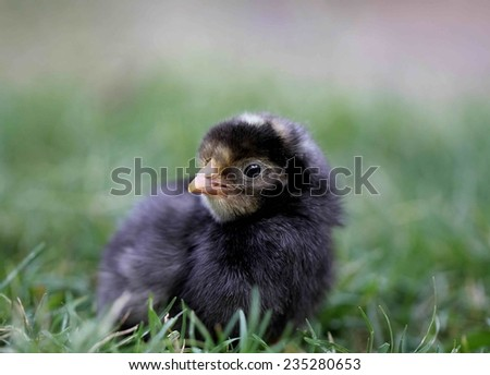 Cute Plymouth rock chick - stock photo