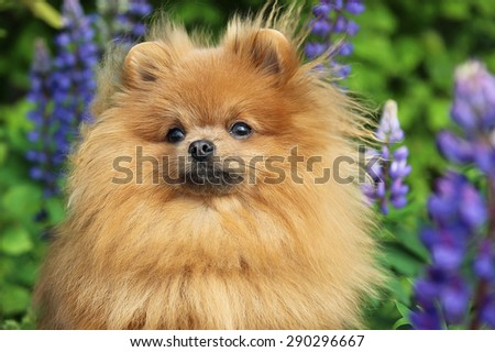Cute pomeranian dog looking at photographer - stock photo