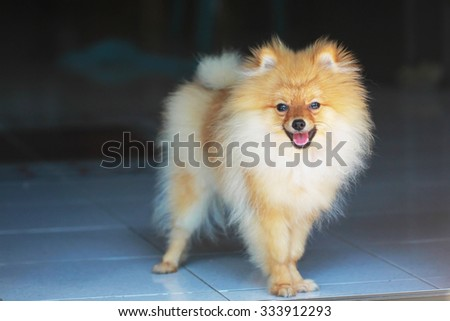 cute pomeranian dog portrait at home, puppy - stock photo