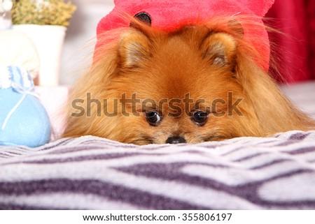 Cute pomeranian dog. Sad dog - stock photo
