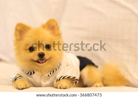 Cute pomeranian dog wearing student shirt, smiling on the sofa with copy space - stock photo