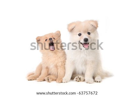 Cute Pomeranian puppies sitting obediently on a white background - stock photo