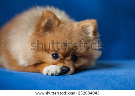Cute Pomeranian puppy on a blue background - stock photo