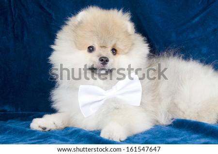 Cute Pomeranian puppy wearing a white bow tie (on a bright blue background) - stock photo