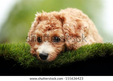 Cute Poodle Dog lying on green grass - stock photo