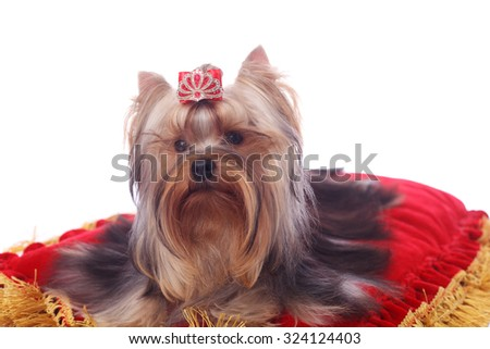 cute pretty Yorkshire terrier on the bright red cushion - stock photo