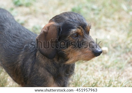 Cute profile of the face of a wire haired dachshund dog. - stock photo