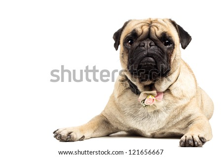 Cute Pug laying down with rose decoration on collar. - stock photo
