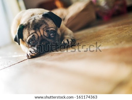 Cute pug lying - stock photo
