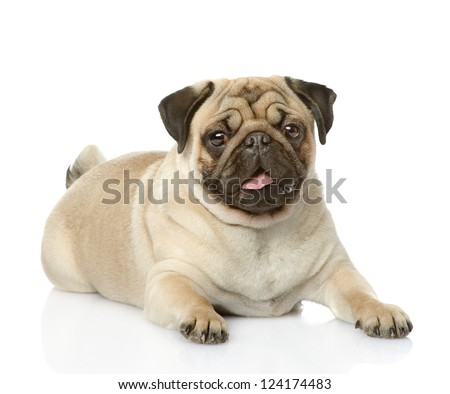 Cute pug lying. isolated on white background - stock photo