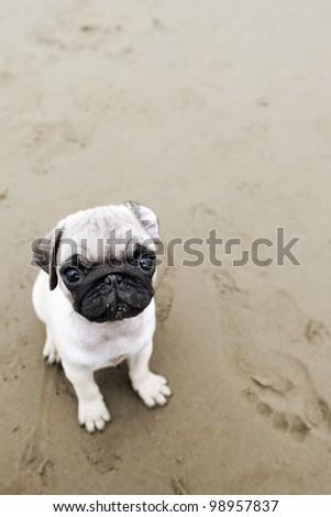 Cute pug puppy on wet beach sand - stock photo
