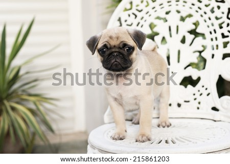 Cute pug puppy on white chair - stock photo