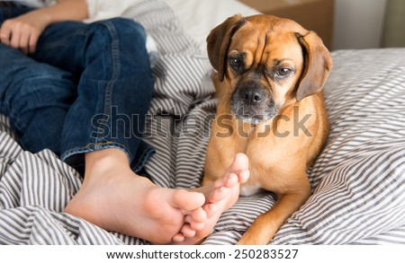 Cute Puggle Dog Relaxing in Bed Next to Owner - stock photo