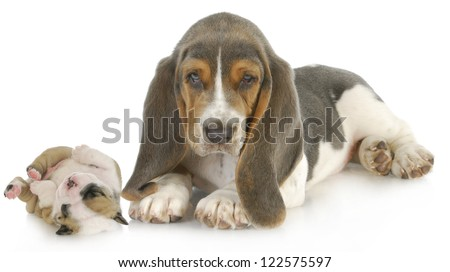 cute puppies - basset hound and english bulldog puppy isolated on white background - stock photo