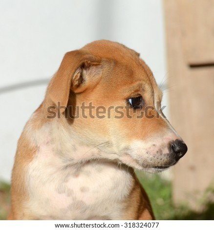 Cute Puppies of Amstaff dog, animal  theme - stock photo