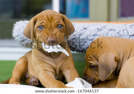 cute puppies playing together with a piece of paper and make a funny expression in face - stock photo