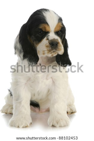 cute puppy - american cocker spaniel puppy sitting with reflection on white background - 7 weeks old - stock photo
