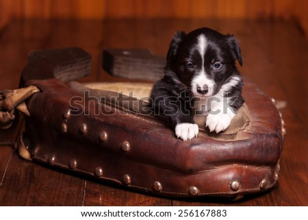 Cute puppy Border Collie leaned on the old collar and looking into the camera - stock photo