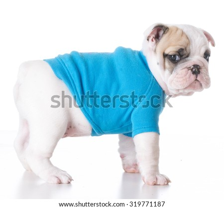 cute puppy - bulldog puppy wearing a blue sweater standing on white background 7 weeks old - stock photo