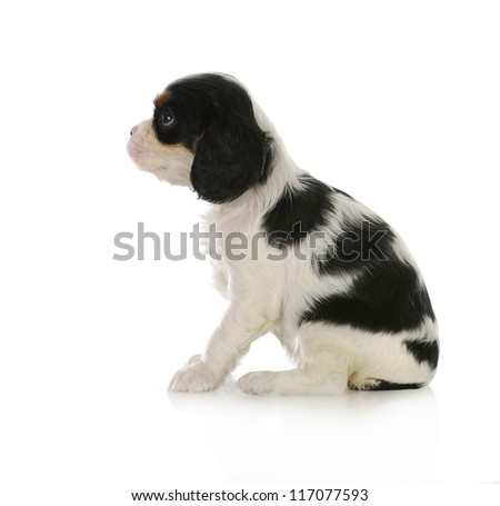 cute puppy - cavalier king charles spaniel puppy sitting looking up isolated on white background - stock photo