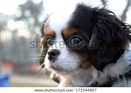 cute puppy - cavalier king charles spaniel puppy tricolor - stock photo