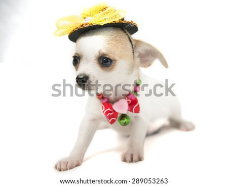 cute puppy Chihuahua in the yellow hat - stock photo