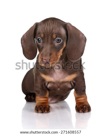 Cute puppy dachshund sitting on white background - stock photo