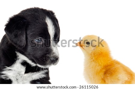 Cute puppy dog and a little yellow chicken on white background - stock photo