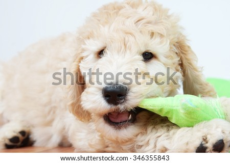 Cute puppy dog chewing a toy - stock photo