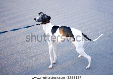 cute puppy dog doggy cutie on a leash - stock photo