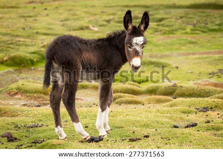 Cute Puppy donkey with white paws - stock photo