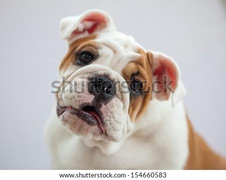 cute puppy - english bulldog puppy laying down looking at view - stock photo