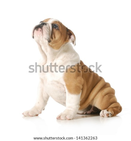 cute puppy - english bulldog puppy looking up isolated on white background - 12 weeks old - stock photo