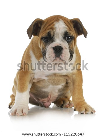 cute puppy - english bulldog puppy sitting on white background - 10 weeks old - stock photo