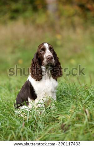 Cute Puppy English Springer Spaniel in grass - stock photo